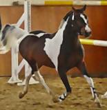 Hengstpräsentation der Ponys, Kleinpferde und Spezialrassen MV