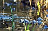 Auf der Suche nach den Blauen Moorfröschen